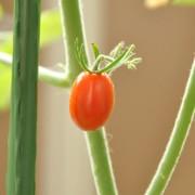 トマト第1号